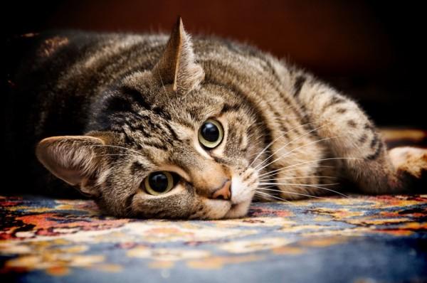 160121cat 600x398 - 本日の美人猫vol.171