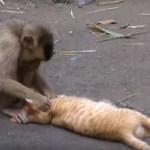 猿と仲よしトラ猫君、プロのノミ取りに寛ぎまろぶ