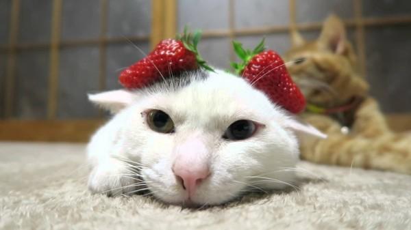160305ichigo 600x337 - ショートケーキか大福か、苺を乗せて寝ぼける白猫