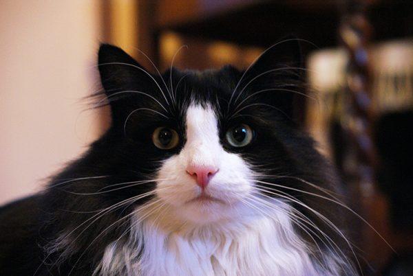 160626lovelycat 600x402 - 本日の美人猫vol.193