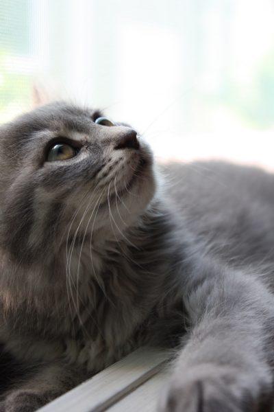 160729mixcat01 1000 400x600 - 本日の美人猫vol.198