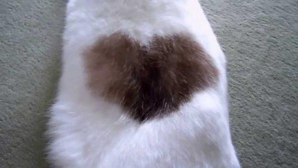 160802heart 600x338 - 飼い主だけしか見られない、猫腹に浮かぶ幻のハート