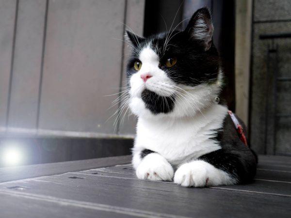 160813cattaiwan 1000 600x450 - 本日の美人猫vol.200