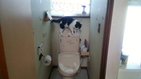 160824cat 600x338 - リモコン覚えた賢い猫、トイレを自動給水装置に
