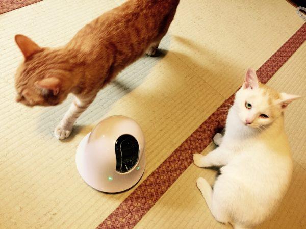 160824ilbo01 600x449 - 「幻の猫」の姿を外から見られる、移動可能な遠隔多機能カメラ