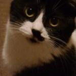 ウィスパーボイスのハナクロ猫、幽けし調べに思いを乗せて