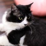 """猫エイズの誤解解消を目指す、""""りんご猫""""専門の保護猫カフェが中野に登場"""