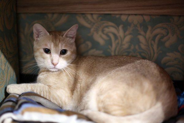 "160905RINGO IMG 4863 600x400 - 猫エイズの誤解解消を目指す、""りんご猫""専門の保護猫カフェが中野に登場"