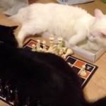 白対黒の猫チェス対決、独自ルールで大混戦