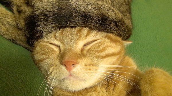161014tailhat 600x338 - 猫専用のロシア帽、被って眠って茶トラは白眼に