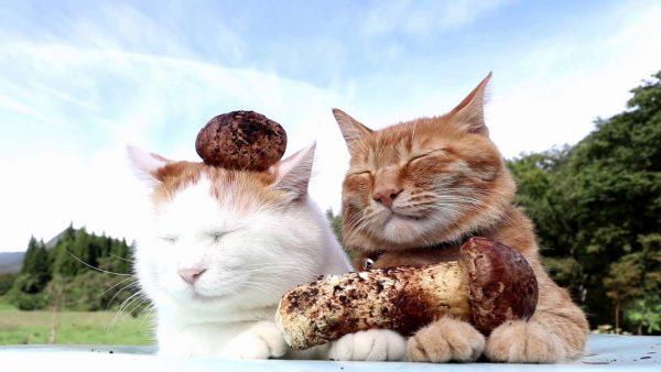 161018matsutakecats 600x338 - 茶色と白の松茸載せて、二匹並んで涼風にそよぐ