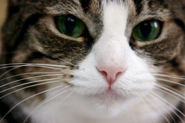161022catface 600x400 - 本日の美人猫vol.209