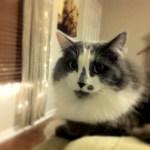 本日の美人猫vol.211