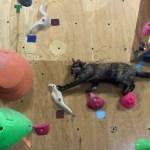 頂き目指すボルダリング猫、ホールド伝ってシッポを揺らして