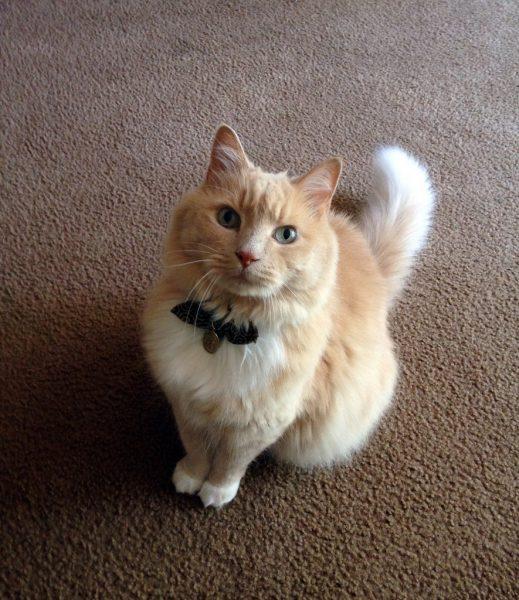 161115cat 519x600 - 本日の美人猫vol.212