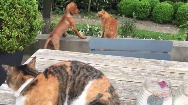 161118catanddogandcat 600x338 - 猫犬の喧嘩を見ていた猫が参戦、助太刀したのは犬の側