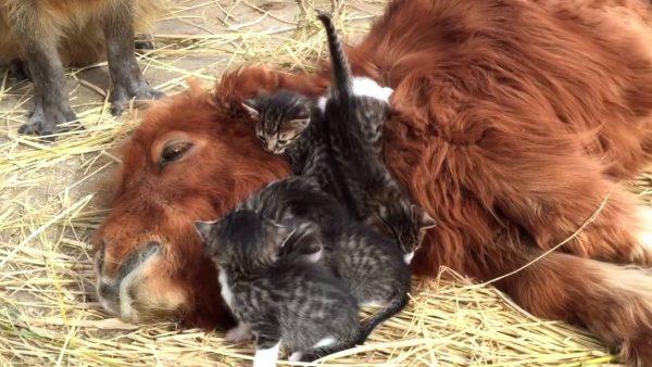 161222cat 600x338 - 寝そべる馬に寝そべる子猫、周囲で見守る保護者とカピバラ