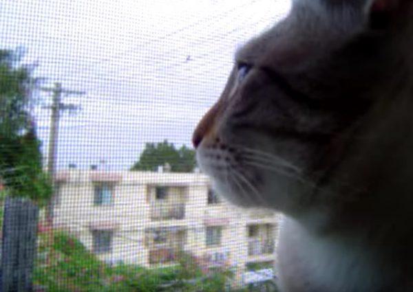 161229cat 600x425 - 猫による声帯模写のコケコッコー、窓から聞こえる声に応えて