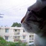 猫による声帯模写のコケコッコー、窓から聞こえる声に応えて