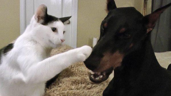 170113catwithdog 600x338 - おかっぱ頭の白黒猫、ドーベルマンにあくびを伝染