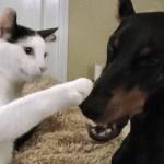 おかっぱ頭の白黒猫、ドーベルマンにあくびを伝染
