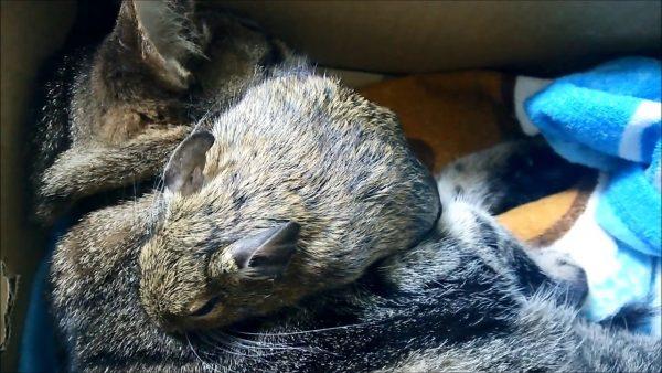 170114catanddegu 600x338 - 天然毛でぬくぬく熟睡、猫とデグーの掛け敷き布団