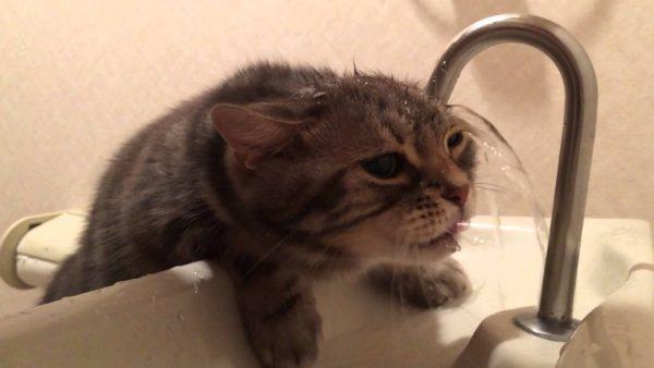 170117cat 1 600x338 - 頭に水をかけ流す猫、特技を買われてPR大使に