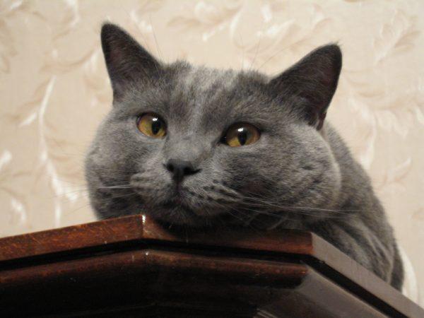 170128cat 600x450 - 本日の美人猫vol.222