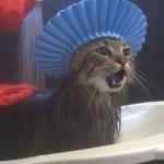 シャンプーハットで入浴する猫、貫禄漂うシャワーシーンに