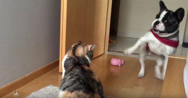 170218cat 600x313 - 通りたいフレブル阻む見えぬ壁、縞三毛猫の塩対応