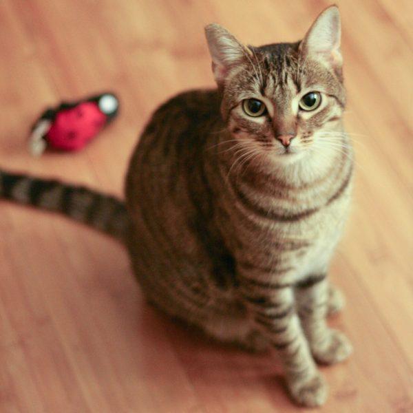 170219cat 600x600 - 本日の美人猫vol.225