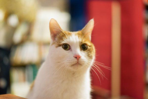 170304cat 600x401 - 本日の美人猫vol.227