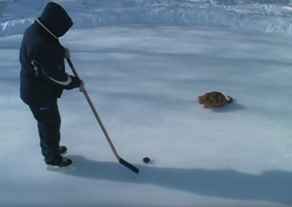 170305icehockeycat 600x425 - 氷上にパックを追い追い走る猫、冬の遊びはアイスホッケー