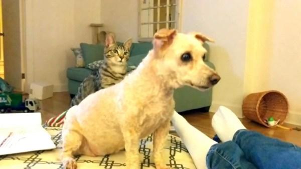170331cat 600x338 - 見た目の変化に猫が混乱、同居のワンコにおっかなびっくり
