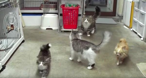 170421cats 600x319 - 猫の父ちゃん子猫に指導、危険な遊びはいかんぜよ