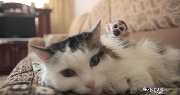 170528cat 600x319 - 育児放棄の猿の赤子を背負う猫、親の代わりにぬくもり与え
