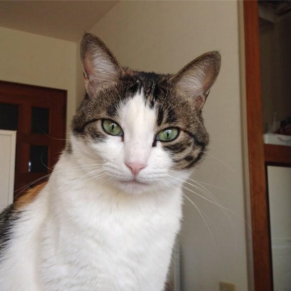 170722catyoko 600x600 - 本日の美人猫vol.242