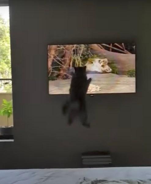170920catjump 494x600 - 液晶へ迷わず飛び込む勇ましき猫、画面に激突そのまま落下