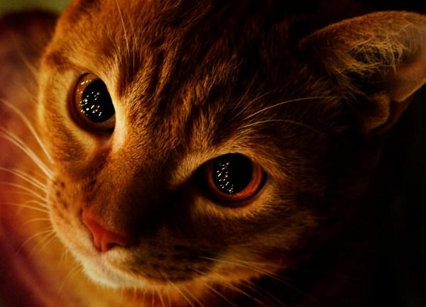 171209catChristmas 600x433 - 本日の美人猫vol.252