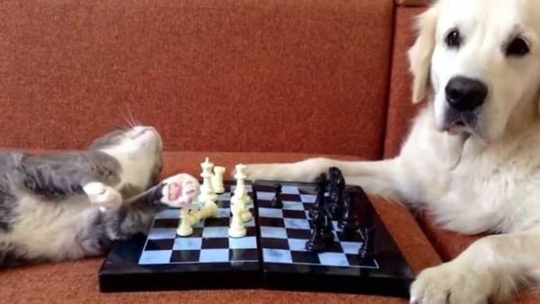 180317cat 1 600x338 - 猫vs犬のチェス対局、刺客登場でプロレスに変更