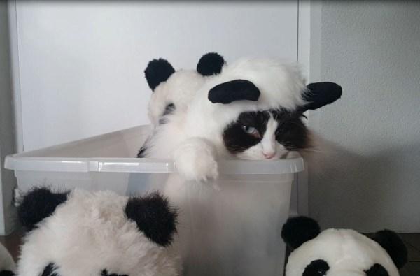 180321cat 600x395 - パンダのコスプレ着こなす猫、ぬいぐるみよりもぬいぐるみっぽく