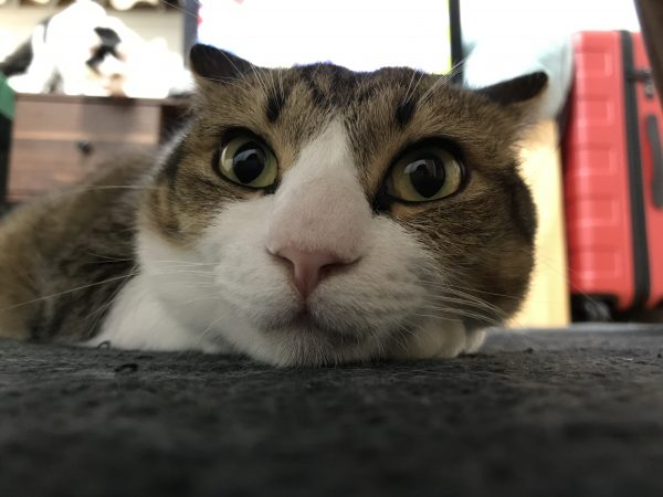 180331catbijin e1522455744496 600x450 - 本日の美人猫vol.260
