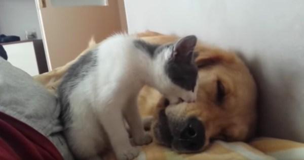 180405catanddog 600x317 - 気持ちよく眠った犬を起こす猫、実力行使は失敗に終わる