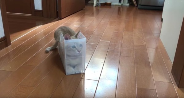 180620cat 600x319 - 透明の書類ケースに寄りかかる猫、後方確認怠り転がる