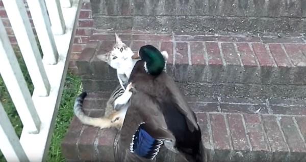 180714cat 600x319 - 仲好しの猫とマガモの真剣相撲、胸突き合わせて決まり手は押し出し