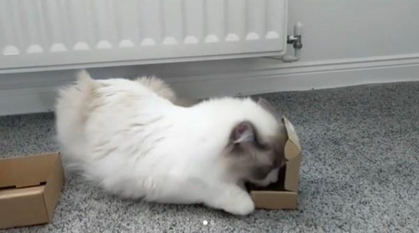 180815cat 600x334 - 目の前の箱に入る気満々の猫、強引なやり口で初志貫徹