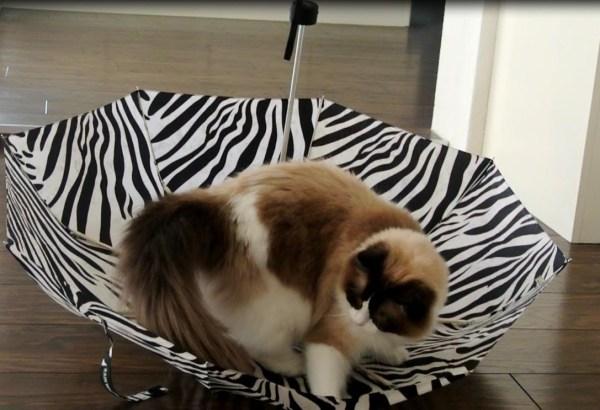 181004cat 600x410 - 流行の傘猫のいわば逆さま版、猫は興奮ワイルドモードに