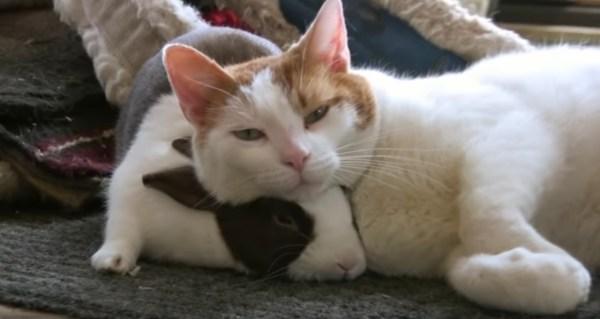 190130cat2 600x319 - 相棒のウサギを枕に昼寝する猫、スリスリしすぎて逃げられて