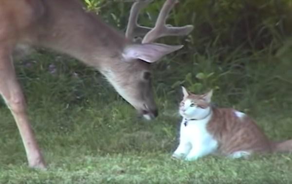 190227cat 600x378 - 鹿さんにへっぴり腰の茶白猫、喉元過ぎればシッポにちょっかい