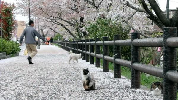 190406cat02 600x338 - 道端の猫と眺める散り桜、吹雪く桜に誰もが春めき